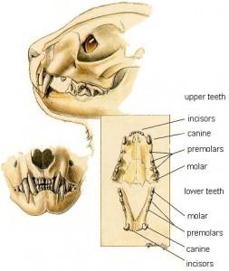 katės dantys