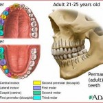 žmogaus dantys