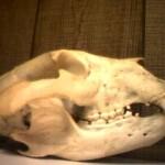 Lokio kaukolė. Jis valgo nemažau augų, tad vadinamas visaėdžiu. Galite pamatyti, kad jo krūminiai dantys palyginti plokšti.