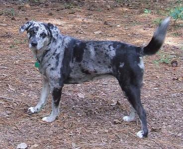 Katahulos leopardinis šuo