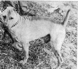 kinų kovinis šuo