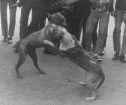 kinų koviniai šunys ringe